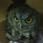 A screech owl that came to us stunned one night, no serious injuries